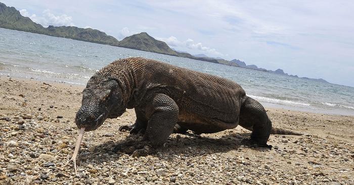 En esta foto tomada el 2 de diciembre de 2010, un dragón de Komodo en el área costera de la isla de Komodo. Foto de ROMEO GACAD/AFP/Getty Images.