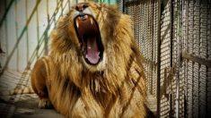 Masacran 54 leones en 2 días: investigadores exponen la horrible cría y sacrifico de estos animales