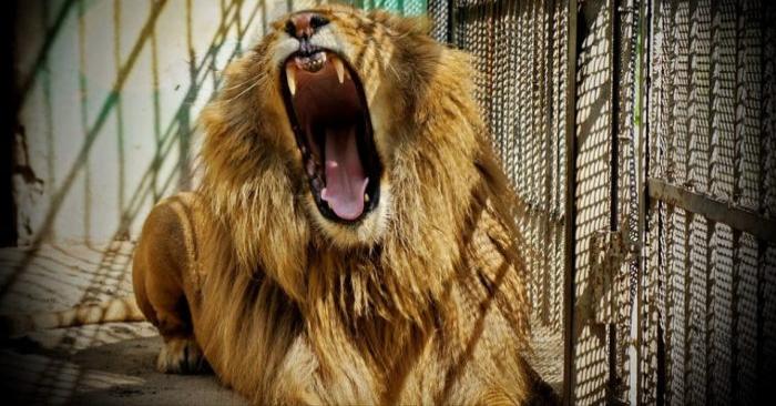 Foto de archivo de un león en cautiverio (Barett71/Pixabay)