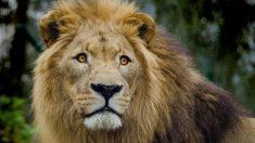 Habrían encontrado restos de un cazador furtivo de rinocerontes comido por los leones
