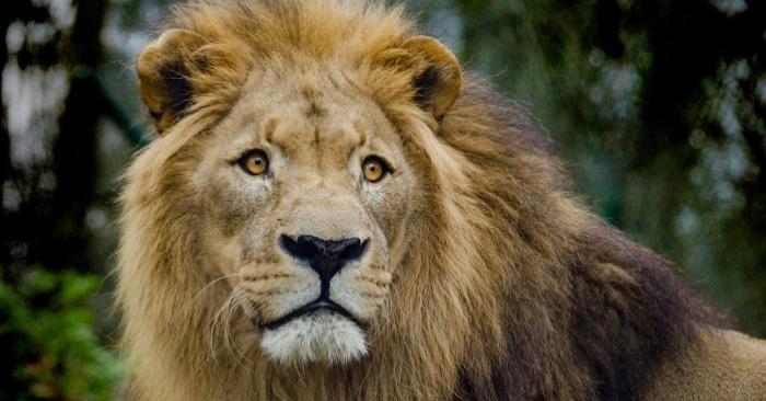 Una imagen de archivo sin fecha de un león. (Pixabay)