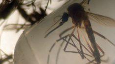 Descubren que una canción de música electrónica atonta al mosquito del dengue, zika y chikungunya