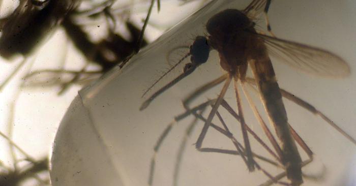 Mosquitos Aedes aegypti son fotografiados en un laboratorio de la Universidad de El Salvador, en San Salvador, el 3 de febrero de 2016. Foto de MARVIN RECINOS/AFP/Getty Images.