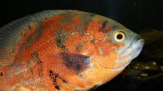 Un hombre es acusado de crueldad animal por abandonar a su pez mascota
