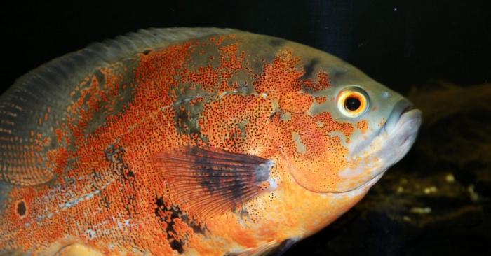 Un pez Oscar. Foto de Zoosnow/Pixabay.