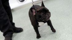 México: en pocos segundos un hombre se robó un perro bulldog francés cuando la dueña hacía compras