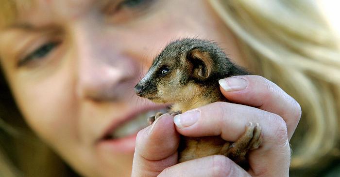 Foto ilustrativa de una Zarigüeya. GREG WOOD/AFP/Getty Images.