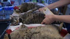 Australia está matando millones de gatos silvestres con salchichas envenenadas