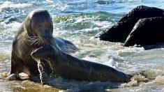Hombre que posa para una foto es arrastrado al mar por un león marino