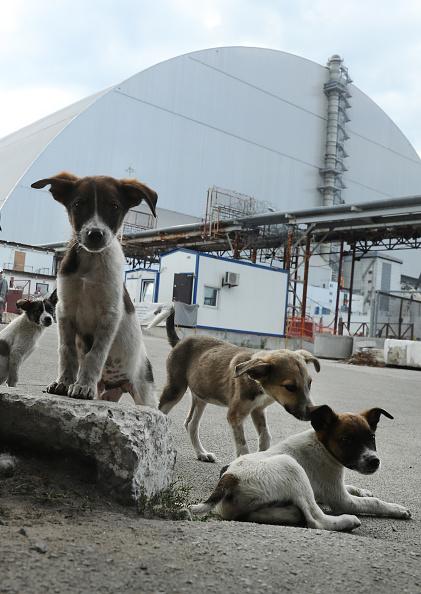 """CHERNOBYL, UCRANIA - 18 DE AGOSTO: Perros callejeros merodean dentro de la """"zona local"""" de alta seguridad fuera del nuevo y gigantesco recinto que cubre el devastado reactor número cuatro de la central nuclear de Chernobyl el 18 de agosto de 2017 cerca de Chernobyl, Ucrania.(Crédito: Sean Gallup/Getty Images)"""