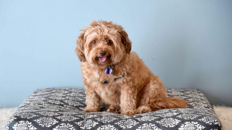 Un perro posa el 23 de agosto de 2017 en Los Ángeles, California. (Michael Kovac/Getty Images para Natural Balance)