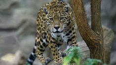 Nace el primer jaguar por inseminación artificial y la madre se lo come a los 2 días