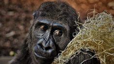 El último de los gorilas de montaña en peligro de extinción posa para una selfie con sus guardas