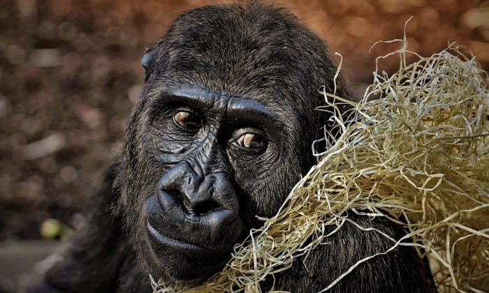 Imagen ilustrativa de un gorila. (Alexas_Fotos/Pixabay)