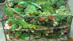 Rescatan 550 aves hacinadas en pequeñas jaulas en un mercado ilegal de mascotas