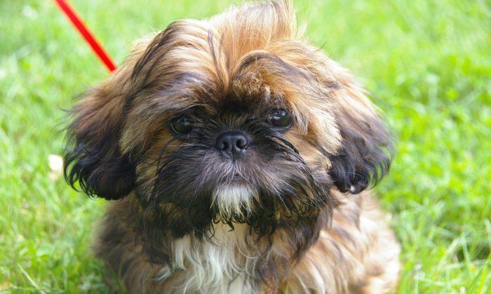 Foto de archivo de un Shih Tzu, la misma raza de perro que mordió a Christine Caron, lo que la llevó a la sepsis y a la amputación de tres de sus extremidades. (Pixabay)
