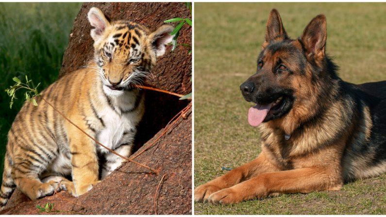 Cachorro de tigre rechazado por su madre recibe todo el amor que necesita de este pastor alemán