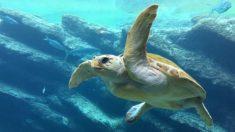 Este papá corre a toda velocidad y logra el rescate perfecto de una tortuga varada en la playa