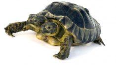 Nace tortuga con dos cabezas en una playa de México y ya es famosa en Internet