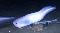 Estos peces gelatinosos soportan las profundidades del abismo pero se derriten en la superficie