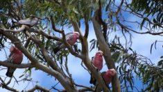 """Un árbol que comenzó a """"llorar"""" el Viernes Santo en Australia atrae a cientos de personas"""