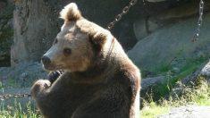 Famoso luchador de la UFC se filma con sus amigos golpeando y pateando una cría de oso encadenada