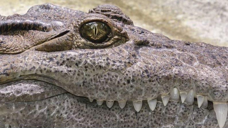 imagen de archivo sin fecha de un caimán de 300 kilogramos. (Pixabay)