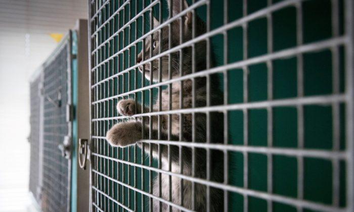 Un gato mirando fuera de una jaula antes de darlo en adopción. (JOEL SAGET/AFP/Getty Images)