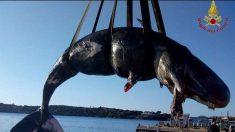 Cachalote embarazada muere en playa de Italia con 22 kilos de plástico en su estómago