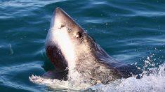 Vigilan a gran tiburón blanco frente a la costa de Carolina del Norte