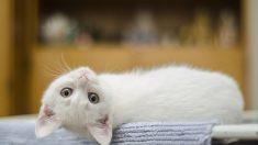 Estudio afirma que los gatos sí reconocen su nombre… solo que prefieren ignorarte