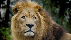Filman despiadado ataque de un león líder que no quería compartir su presa