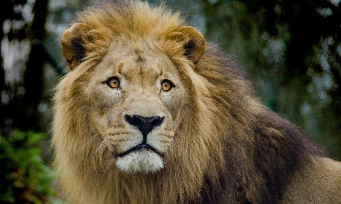 Foto de archivo de un león. (Pixabay)