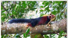Fotografían una extraña y fascinante ardilla multicolor: es el doble de grande que el ejemplar común