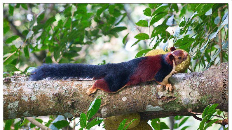 Una ardilla gigante de Malabar. (Raghu Peethambaran - Creative Commons)