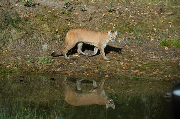 Imagen de un puma. (Wolfgang Kaehler/LightRocket vía Getty Images)