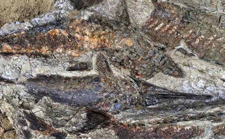 Peces fosilizados apilados uno encima de otro, sugiriendo que fueron arrojados a tierra y murieron varados en una barra de arena después de que el seiche se retiró. (Robert de Palma-Universidad de Texas)