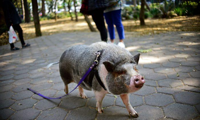 Foto de archivo de un cerdo mascota llamado Jacinto, visto caminando con una correa en un parque en la Ciudad de México el 4 de enero de 2018. Un cerdo mascota fugitivo en California fue encontrado recientemente y masacrado por un hombre de la zona. (Pedro Pardo/AFP/Getty Images)