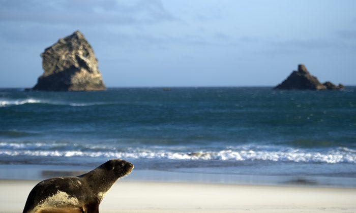 Un león marino es fotografiado en la playa de Sandfly Bay cerca de Dunedin, Nueva Zelanda, el 21 de septiembre de 2011. (Martin Bureau/AFP/Getty Images)