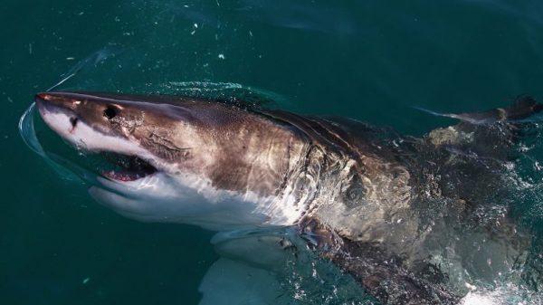 Imagen de archivo de un gran tiburón blanco nadando junto a un barco. (Ryan Pierse/Getty Images)