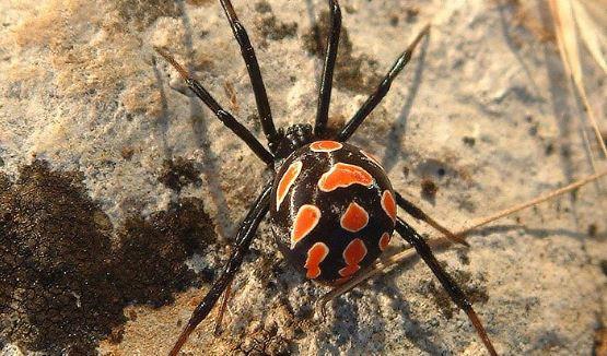 Viuda negra, una de las arañas más temidas del mundo existe en Estados Unidos (Wikimedia)
