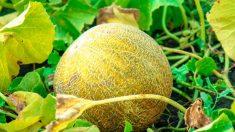 Una antigua historia china: Los melones de la Montaña Sol