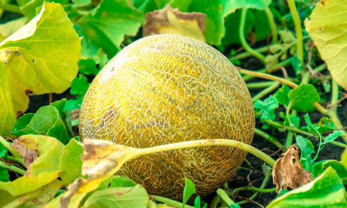 El hermano menor juró trabajar duro en el campo para ganar verdaderamente su melón cuando el tiempo llegara. (Eva Kann/Shutterstock)