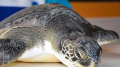 Rescatan a tortuga enferma en Argentina que defecó gran cantidad de basura