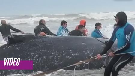 Con una excavadora y 30 hombres intentan salvar una ballena varada en un rescate de película