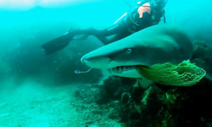 Un instructor de buceo en Byron Bay, Australia, puso su seguridad en la peligro cuando rescató a un tiburón nodriza gris de una red de pesca cerca de Julian Rocks el 16 de agosto de 2018. (Storyful)