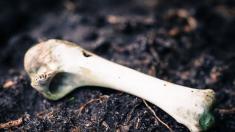 Adolescente pasea por una granja y encuentra los restos de un mastodonte