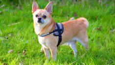 """""""Miami"""", un perrito viajero con suerte que sigue conociendo el mundo"""