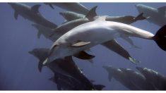 Video muestra estampida de cientos de delfines junto a un barco en California