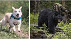 Curry, el valiente perrito que desafió a un oso para proteger a su dueño